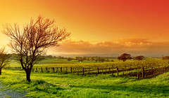 Vineyard Landscape (drjerryfowler) Tags: morning sunset sky orange tree green nature field grass yellow fruit clouds rural sunrise landscape dawn vineyard spring saturated bright wine outdoor farm country scenic meadow vine australia fresh valley grapes stunning shiraz growing sa agriculture barren barossa