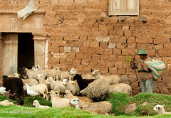 Pastor de ovelhas (Ivan Costa) Tags: life door house man peru rural sheep farm country case vida porta pastor homem sitio fazenda sheperd ovelha ovelhas