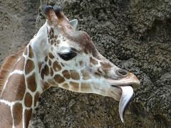 Giraffe (Marian Henderson) Tags: tongue giraffe