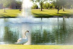 Racine, Wisconsin-4291 ( / Jiayin Ma) Tags: trees white tree green water fountain wisconsin campus pond goose racine cree
