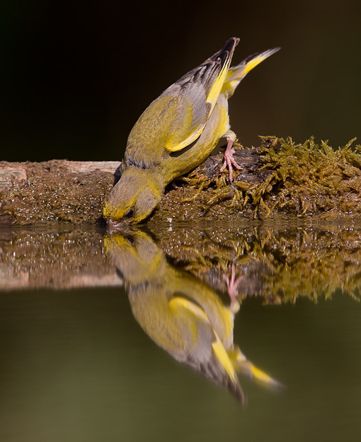 Greenfinch - bathing