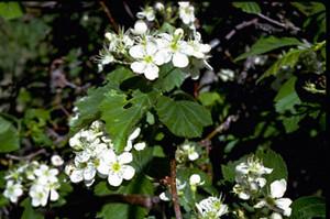 Photo - Hawthorn in flower