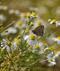 Daisy & Butterfly (onzeemoov51) Tags: daisies butterfly insects wildflowers gatekeeper