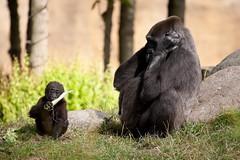 2013-08-08-10h53m47.272P2306 (A.J. Haverkamp) Tags: zoo rotterdam blijdorp gorilla tonka dierentuin diergaardeblijdorp tamani westelijkelaaglandgorilla httpwwwdiergaardeblijdorpnl canonef100400mmf4556lisusmlens pobrotterdamthenetherlands pobapeldoornthenetherlands dob13031993 dob05112012