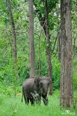 Baby in the wild (Poorna Kedar) Tags: trees wild baby india elephant green nature forest woods wildlife indian jungle monsoon trunk lush karnataka tusker bandipur