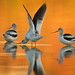 1st Place - Fauna - Mark Cromwell - Avocets
