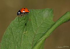 Taking a rest (julia shiva) Tags: ladybird