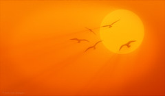 May 5th: Liberation Day (Fr@nk ) Tags: sky orange sun sunlight seagulls topf25 birds silhouette canon liberty fly topf50 europe day peace 5 topf300 ww2 mei 1945 topf100 liberation topf200 nextime 400mm topf400 bevrijdingsdag bevrijdingsfeest bevrijding frnk mrtungsten62 frankvandongen wwworvilnl
