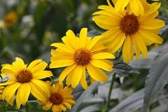 Geel eind van de zomer - Yellow fall (hrunge) Tags: flowers netherlands yellow bloemen volkstuintje canoneos50d yellowfall larennh august2013 hrunge lensef100mmf28lisusm geeleindvandezomer