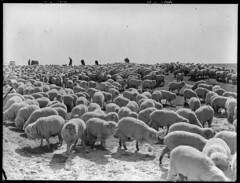 Overlanding sheep near Kingston (State Records SA) Tags: blackandwhite sheep australia kingston historical southaustralia overlanding frankhurley srsa staterecords staterecordsofsouthaustralia staterecordsofsa overlandingsheep