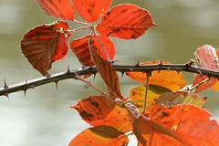 Anglų lietuvių žodynas. Žodis rose-bush reiškia rožių krūmo lietuviškai.