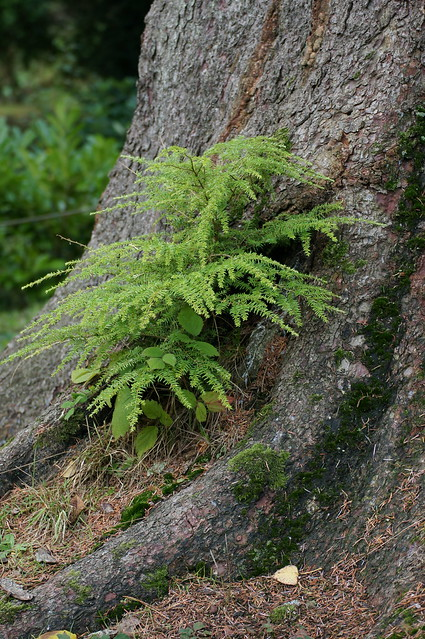 Fern at Stourhead