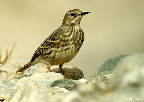 "Rock Pipit (J H Johns) • <a style=""font-size:0.8em;"" href=""https://www.flickr.com/photos/30837261@N07/10722965665/"" target=""_blank"">View on Flickr</a>"