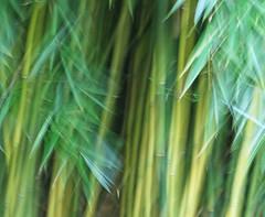 Bamboo Dreams (WHO 2003) Tags: bamboo icm hilliergardens intentionalcameramovement bamboodreams