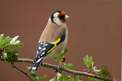 IMG_6233  Goldfinch  (Explore) (Graham N Brownlow) Tags: ngc npc avianexcellence