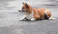 (Wojtek Zet) Tags: dog canon thailand october mai chiang 2013