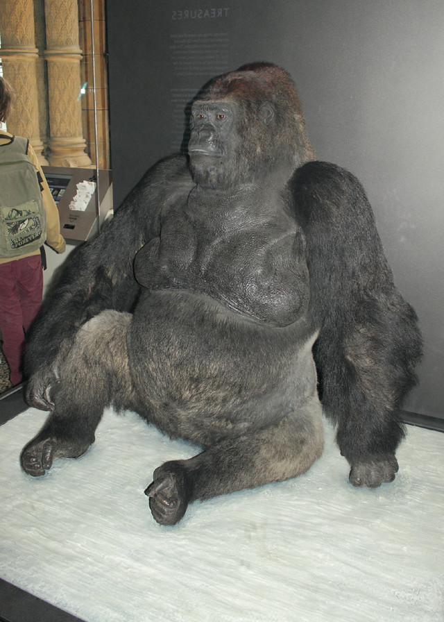Guy The Gorilla Natural History Museum