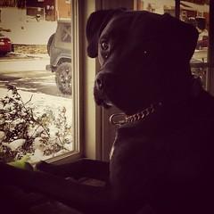 "At his watch. #mupp #urbanrock #urbanrockpup #window #dogs #dogsofinstagram #guarddog #puppy #thanksgiving #thankful • <a style=""font-size:0.8em;"" href=""https://www.flickr.com/photos/62467064@N06/11102036073/"" target=""_blank"">View on Flickr</a>"
