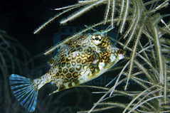 2009-05 HERBLAND MARTINIQUE HONEYCOMB COWFISH ACANTHOSTRACION POLYGONIUS 1415