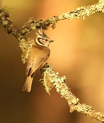 Crested Tit (SamBen-Photos) Tags: vision:sunset=057 vision:text=0562 vision:outdoor=064