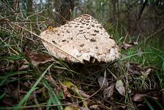 Pečurka / Mushroom
