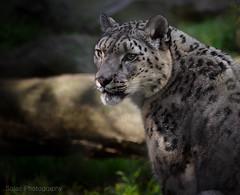 Snow Leopard (onlyajenncanlove) Tags: sf california cats snow nature animal cat zoo nikon san francisco zoom bokeh depthoffield 300mm spots leopard wiskers d7000