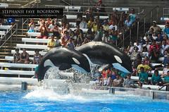 Makaio & Nalani (Stephanie Faye Rogerson) Tags: ocean show one siblings killer bow whale whales orca shamu orcas nalani makaio