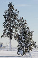 Winter (snugoori) Tags: christmas winter snow tree blizzard