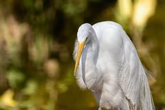 Great Egret   Garza Real (Ardea alba egretta) (ferjflores) Tags: birds venezuela aves caracas greategret parquedeleste garzareal ardeaalbaegretta parquemiranda
