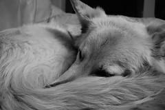 our 8 month german shephard (Phoenix photo and craft UK) Tags: blackandwhite dog pet puppy sleep whitegermanshepherd