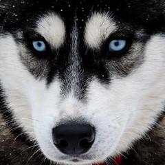 grande odysse (beatrice.boutetdemvl) Tags: winter dog chien snow sport grande hiver neige savoie odyssey sleigh mont col traineau odysse cenis