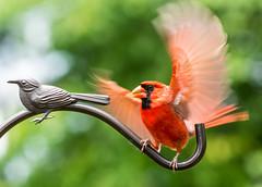 I Feel Like Dancing !!! (ScreaminScott) Tags: red bird cardinal malenortherncardinal potd:country=fr