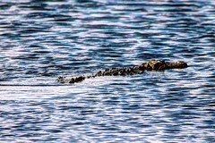 Crocodile (9) - Belize 2014 - Turneffe Atoll - Blackbird Caye (mastrfshrmn) Tags: ocean life sea beach colors birds animals canon island photo sand scenery paradise belize wildlife picture photograph tropical crabs creatures hdr reptiles centralamerica atoll 70d turneffeisland turneffeatoll blackbirdcaye