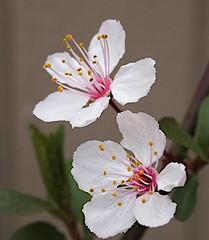 P3024120C sapling 20130302 (caligula1995) Tags: macro sapling balconygarden plumflowers 2013