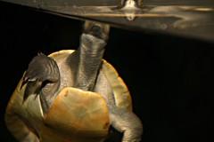 2014 Sydney Aquarium: turtle #1 (dominotic) Tags: fish water coral movement turtle sydney australia nsw newsouthwales darlingharbour sharks rays seacreatures marinelife 2014 sydneyaquarium aquaticlife dugongs mermaidlagoon oceanariums sealifesydneyaquarium greatbarrierreefdisplays