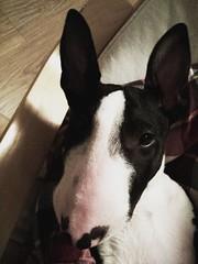 #yoshi #yoshidog #yoshkozaur #bullterrier #puppy #bignose #relax #sleepy #evening #bat #batdog (sergiuszrycki) Tags: puppy relax evening bat sleepy bignose bullterrier yoshi batdog yoshidog yoshkozaur