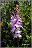 Orchis masculata, L. (Algarval de fotomirada) Tags: flora guadalajara mitierra valverdedelosarroyos ocejón picoocejón orquídeasilvestre fotomirada agvdeftm grupopicoocejón