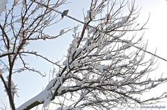 Tortora sul filo (Ciminus) Tags: trees snow tortora birds uccelli neve albero collareddove