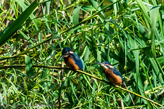 DSC_1630 (builderman62) Tags: wild birds branch pair kingfisher