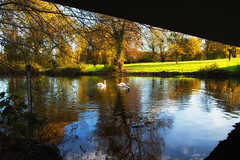 swaning about (jjays7155) Tags: eos7d sigma1750mm swans river salisbury