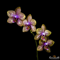 Orqudeas (Romanelli Fotografia) Tags: abstract background beautiful beauty bloom blossom botany bouquet branch bud carlosalbertoromanelliolharfotogrfico color colors cuteflowers decoration exotic flora floral flower flowersinnature flowersspring fresh garden gardenflowerswhite green illustration isolated leaf lovelyflowers natural nature natureicons orchid orchidflower orchidflowers orchidongreen orchidsilhouette petal pink plant purple romanelli romantic silhouette single spring stem summer tropical violetflowers white yelloworchidandviolet yelloworchidinthesun
