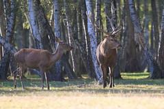 IMG_4762 (minions) Tags: rambouillet 2016 parc animaux cervids