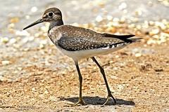 Solitary Sandpiper - Another shorebird! (Kamal50) Tags: caribbean migratory birding birds tringa solitaria