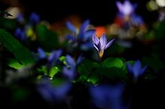 flower 1036 (kaifudo) Tags: sapporo hokkaido japan botanicalgarden flower colchicum autumncrocus        nikon d750 nikkor afs 70200mmf28gedvrii 70200mm