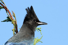 Cyanoccita stelleri (Steller's Jay) - Everett, WA (Nick Dean1) Tags: cyanocittastelleri stellersjay jay birdperfect birdwatcher bird thewonderfulworldofbirds animalia chordata canon corvidae canon7d washington washingtonstate washingtonusa everett southeverett blue crest