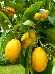 Osterley House (May 2015) (herbman101) Tags: nature photo uk england london statelyhome mansion park osterley osterleypark osterleyhouse tree lemon lemons lemontree citrus yellow citruslimon citruslimon
