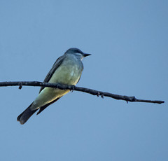 Cassin's Kingbird (OSChris) Tags: cassieskingbird flycatcher bird sanmigueldeallende guanajuato mexico
