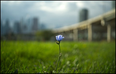 Lonesome Wild Blue Chickory (Lens Bubbles) Tags: lonesome wild blue chickory bokeh yashinon 45cm f28 yashica j toronto gardiner expressway