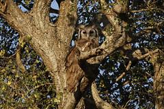 Verreaux's Eagle Owl (crafty1tutu (Ann)) Tags: travel holiday southafrica africa 2016 krugernationalpark animal bird eagle verreauxseagleowl owl crafty1tutu canon7dmkii ef100400mmf4556lisiiusm anncameron tree naturescarousel naturethroughthelens