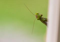 Hello!!! (diego_russo) Tags: mantis segapoddighe diegorusso mantide mantidereligiosa insetto babbautzu insect green verde macro 100mm